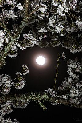 Cherry blossoms - p307m974249f by Tatsuya Fukuda