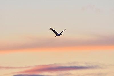 Ein Kranich fliegt in den Abendhimmel - p235m2021754 von KuS