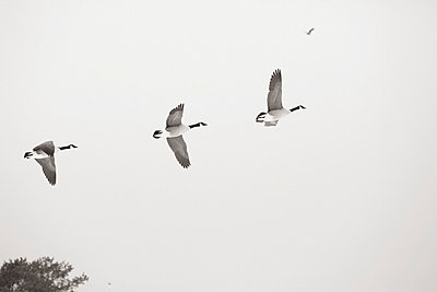 Wild goose - p2351214 by KuS