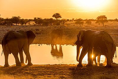 Africa, Namibia, Etosha National park. Elephants at the waterhole of Okaukuejo. - p651m2033340 by Catherina Unger