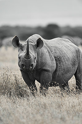 Portrait of rhinoceros, Kenya - p706m2158462 by Markus Tollhopf