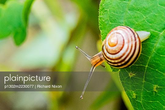 Brown-lipped Snail (Cepaea nemoralis) on a leaf - p1302m2230077 von Richard Nixon