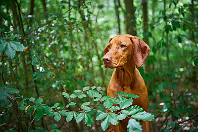 Vizsla in forest - p227m2008250 by Uwe Nölke