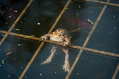 Mating toads - p229m1134273 by Martin Langer