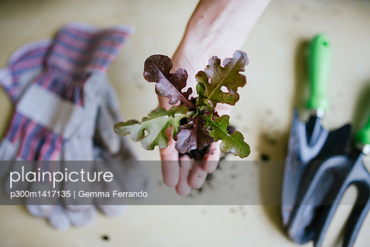Hand holding lettuce to be planted - p300m1417135 by Gemma Ferrando