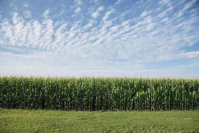 Field of corn - p555m1522999 by John Fedele