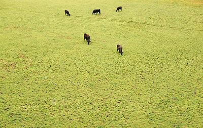Cows grazing on grassland - p924m1422633 by JFCreatives
