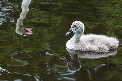 Young swan - p739m668510 by Baertels