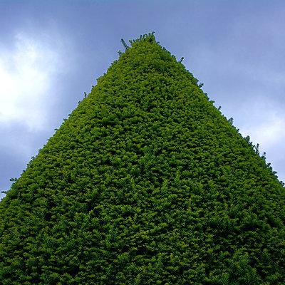 Treetop of Fir tree - p813m916222 by B.Jaubert
