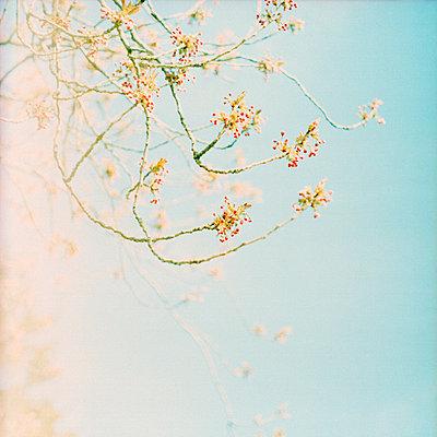 Cherry tree - p989m741670 by Gine Seitz