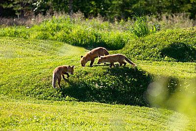 Drei junge Füchse auf einer gemähten Wiese - p235m1461968 von KuS