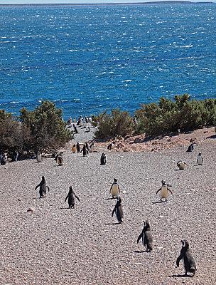 Magellan-Pinguine - p338m971702 von Marion Beckhäuser