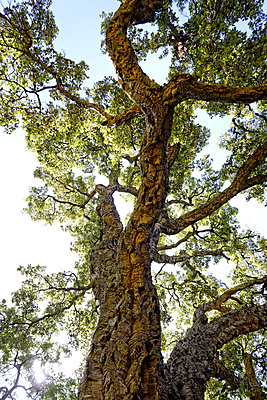 Old Oak - p1041m2090508 by Franckaparis