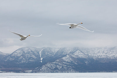 Whooper Swan, Cygnus cygnus, mid-air in winter. - p1100m1520114 by Mint Images