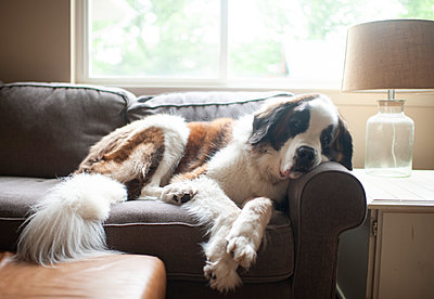 Large Saint Bernard dog resting on couch in pretty light at home - p1166m2146807 by Cavan Images