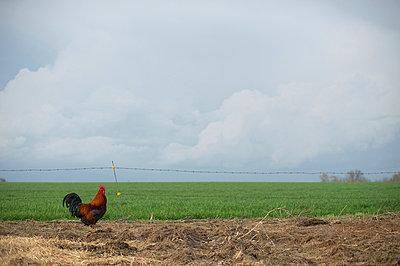 Hahn auf einem Feld - p1169m1032594 von Tytia Habing