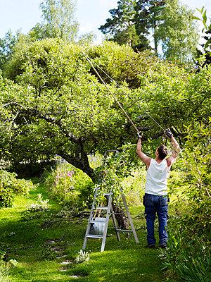 Man pruning apple tree in garden - p528m711604f by Anna Kern