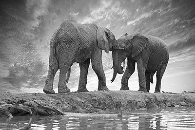 Two elephants - p616m2053521 by Thomas Eigel