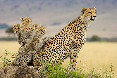 Cheetah mother with five cubs on a termite mound - p884m862989 by Winfried Wisniewski