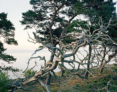 Knorriger Baum an der Küste - p972m1136650 von Felix Odell