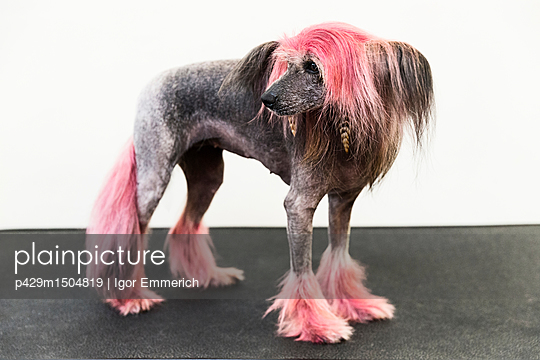 Animal portrait of groomed dog with dyed shaved fur, looking away