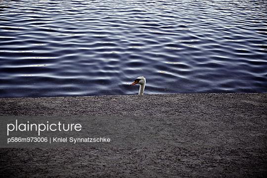 Ein Höckerschwan am Pier - p586m973006 von Kniel Synnatzschke