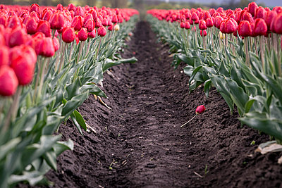 Germany, Magdeburg Boerde, passageway in a red tulip field - p300m1023323f by Anke Scheibe