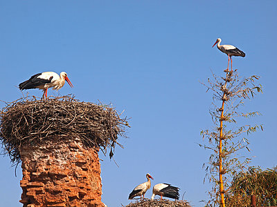 Nests with storks - p338m1355497 by Marion Beckhäuser