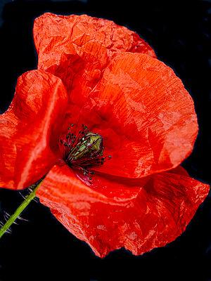 Poppy blossom - p401m2185699 by Frank Baquet