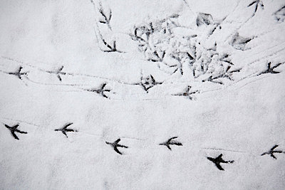 Tracks of a bird in the snow - p4150482 by Tanja Luther