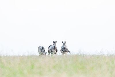 Three zebra, Equus quagga, walk in short green grass, white sky background - p1100m2292859 by Mint Images
