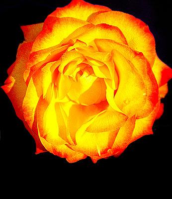 Rose - p4500070 von Hanka Steidle