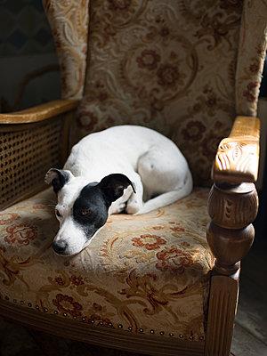 Hund schläft auf einem Sessel - p945m1467738 von aurelia frey