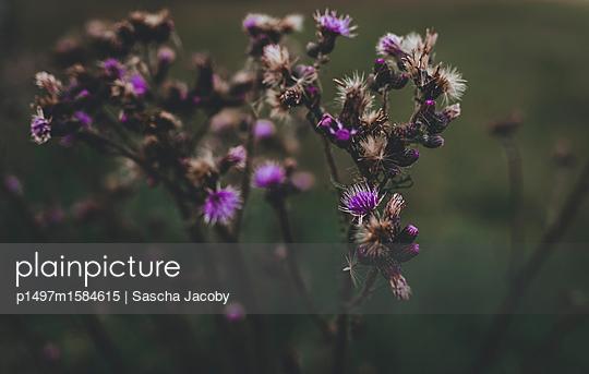 Lila Pflanze in mystischem Licht - p1497m1584615 von Sascha Jacoby
