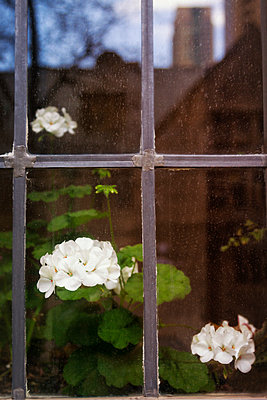 Window with Flowers and Reflection of House - p1331m1169217 by Margie Hurwich