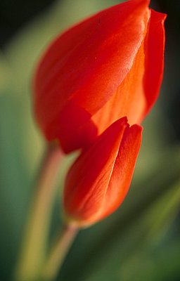 Red Tulip buds - p3490619 by Jan Baldwin