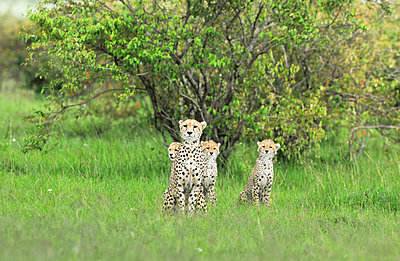 Four Cheetahs - p533m1134180 by Böhm Monika