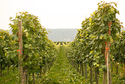 Weinreben, Baden-Württemberg - p902m1065136 von Mölleken