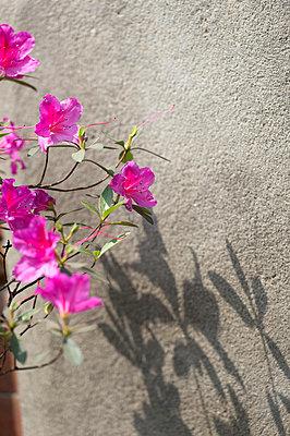 Rhododendronblüte - p949m948529 von Frauke Schumann