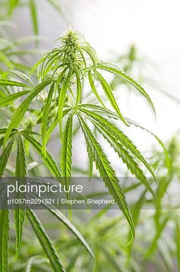 Weibliche Cannabispflanze - p1057m2291521 von Stephen Shepherd