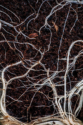 Plant roots in earth - p1047m1131873 by Sally Mundy