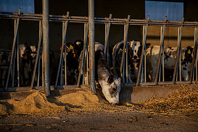 Calves being fed in barn - p300m2273519 by Aitor Carrera Porté