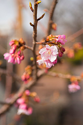 Cherry blossoms - p307m1005822f by 12kagetu