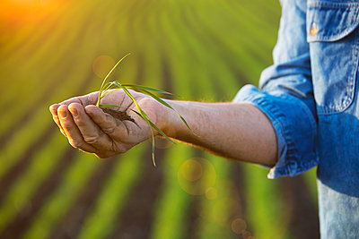 Farmer holding a seedling in his hand with a farm field and crop in the background at sunset; Alberta, Canada - p442m2177310 by DDV Images