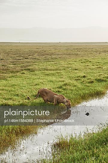 Löwin beim Trinken in der Savanne - p1146m1584388 von Stephanie Uhlenbrock