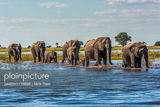 Line of elephants (Loxodonta africana) crossing river in sunshine; Botswana - p442m1179898 by Nick Dale