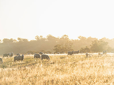 Australia, New South Whales, Kandos, Sheep grazing at sunset - p1427m2235576 by WalkerPod Images