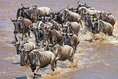 Kenya, Masai Mara, Narok County. Wildebeest cross the Mara River during their annual migration. - p652m1576287 by Nigel Pavitt