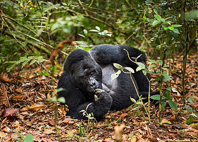 Mountain gorilla - p1100m887998f by Art Wolfe