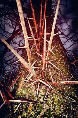 Tree trunk spikes thorns thorn honey locust danger - p609m1534439 by OSKARQ